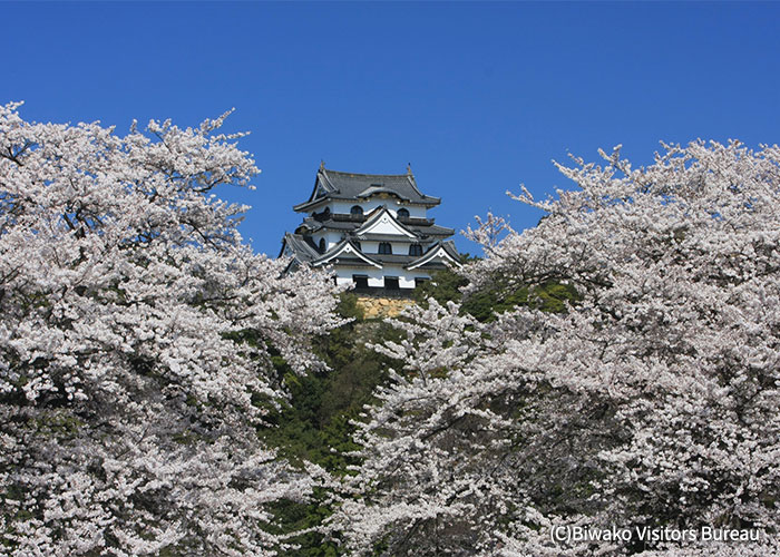 Enjoy the cherry blossoms alongside a famous castle, which is also listed as a national treasure